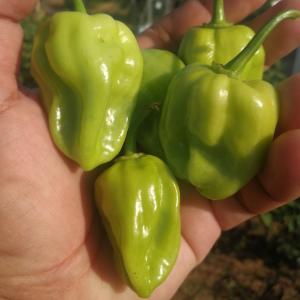 HABANERO MEXICANO